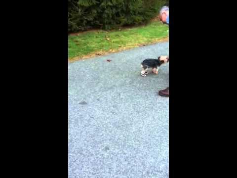 Jokes - Dog Wearing Boots Walks On 2 Legs