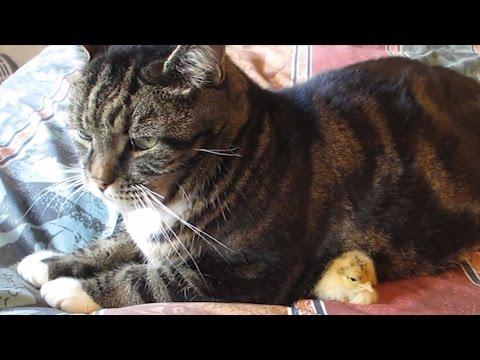 Cute Chick Gets Under The Cat
