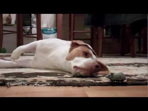 Jokes - Dog Plays With The Toy Mouse
