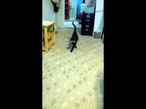Cat Shows How To Do The Catwalk