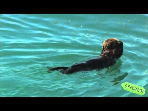 Cute - Sea Otter Pup Swims With Eyes Covered