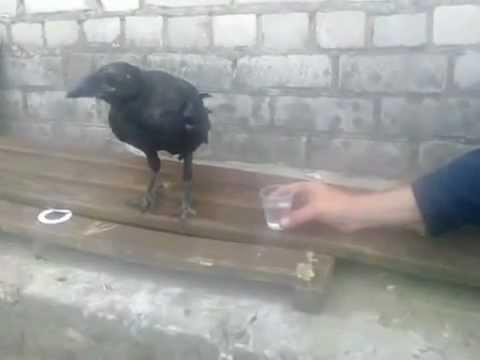Crow Gets Drunk In Russia