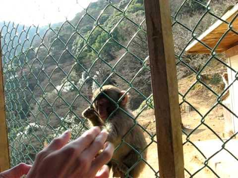 Crazy - Monkey Tells Baby Monkey Not To Play With Strangers