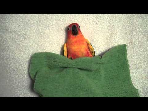 Cute - Parakeet Gets Ready To Go To Bed