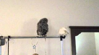 Baby Owl Vs The Parrot
