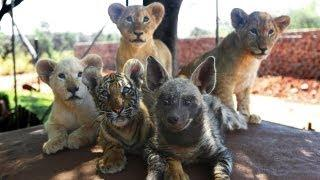 Tiger, Lion, Hyena, And Lion Cubs Are Best Buds