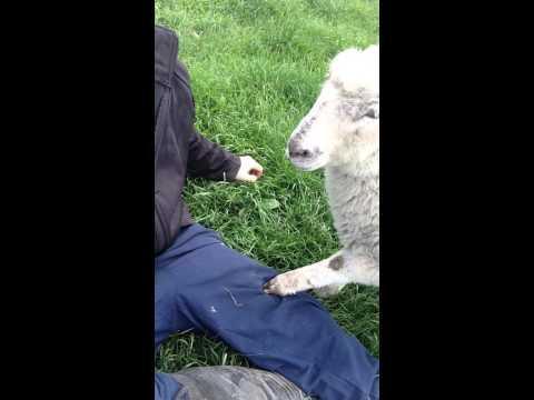Lamb Wants More Petting