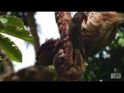 Baby Sloth Hangs Upside Off Mom And Eats Food