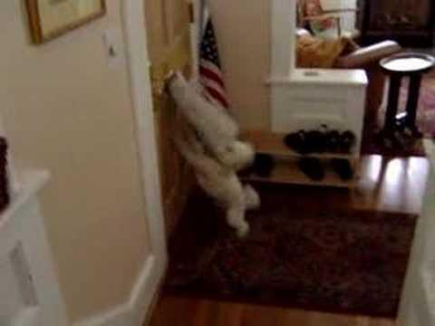 Dog Goes Crazy When The Mail Gets Delivered