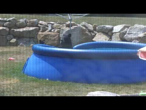 Cute - Black Bear Family Cools Off In The Backyard Pool