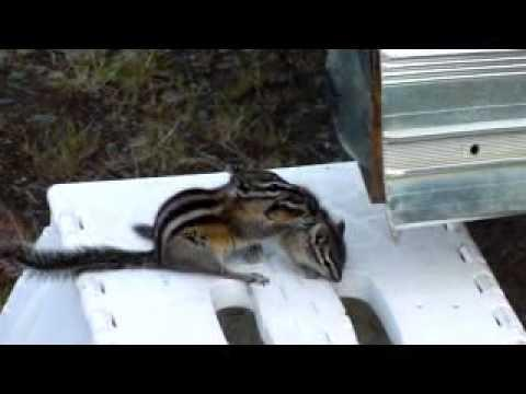 Chipmunk Tries To Put Her Baby Into The Hole