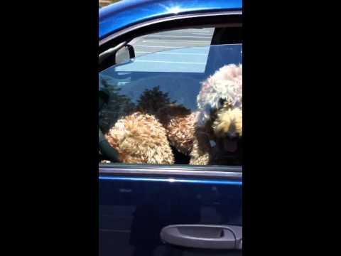 Impatient Dog Inside The Pickup Truck
