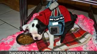 Cute Boston Terrier Puppy's Swimmer Puppy Syndrome Treatment