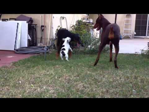 Cute - French Bulldog Puppy Vs Dogs