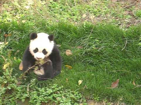 Cute - Baby Panda Plays On The Rocking Horse