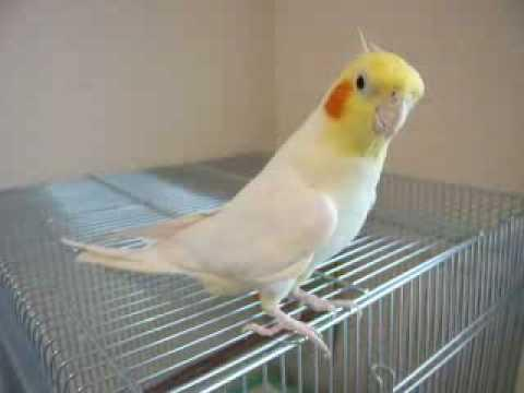 Cute Cockatiel Bird Whistles The Song From Final Fantasy Game