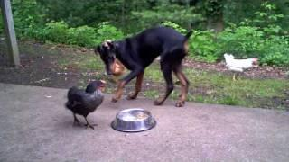 Dog Shares His Breakfast With Chicken