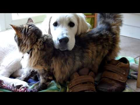 Cute - Cat Loves The Golden Retriever