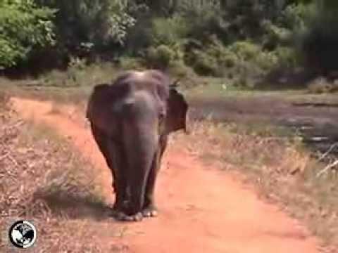 Midget Elephant From Sri Lanka