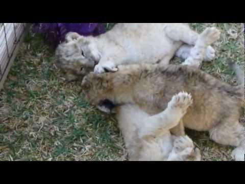 Cute - Lion Cub Takes A Bath