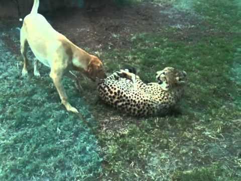 Cute - Playful Cheetah And Dog