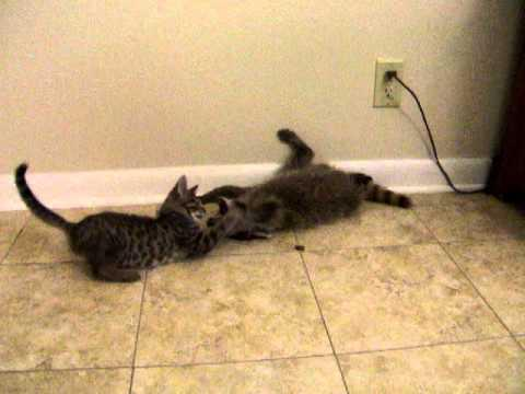 Cute - Raccoon And Kitten Play Fighting