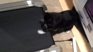 Cat Works Out The Front Legs On Treadmill