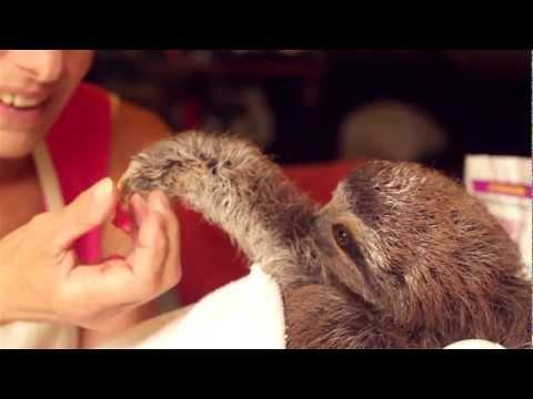 Cute - Baby Sloth Gives A Gift