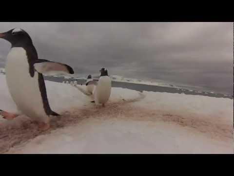 Cute - Highway For Penguins In Antarctica