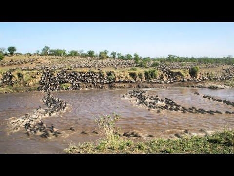 Time Lapse Video Of Wildebeest Crossing The Mara River In Tanzania
