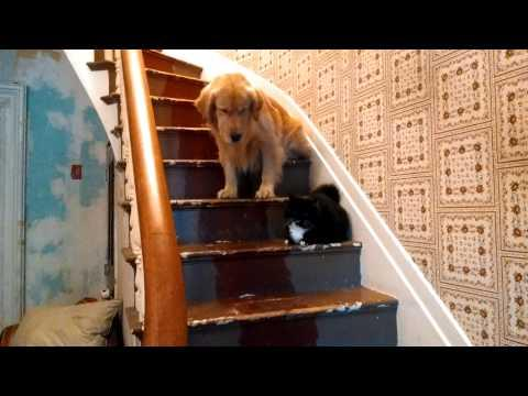 Golden Retriever Doesn't Want To Walk Past The Cat