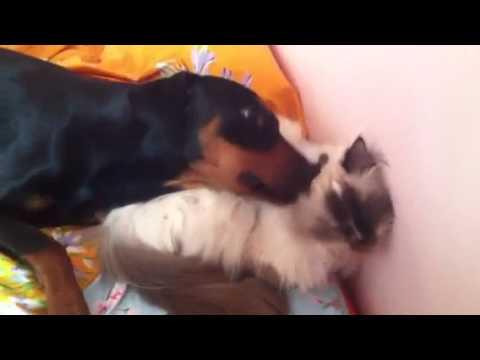 Cute - Dog Grooms The Cat