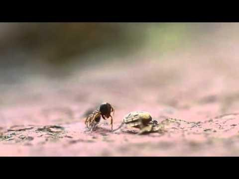 WIN - Spider Wins The Fight Against Ant