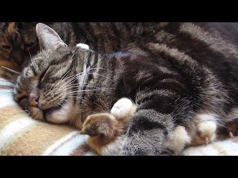 Cute Chicks Rest Under Cat's Leg
