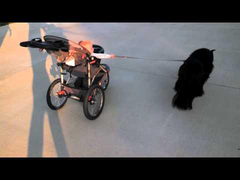Dog Takes The Baby For A Walk