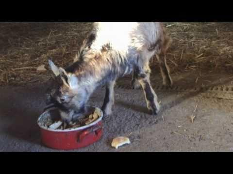 Jokes - Goat Steals Food From Puppies