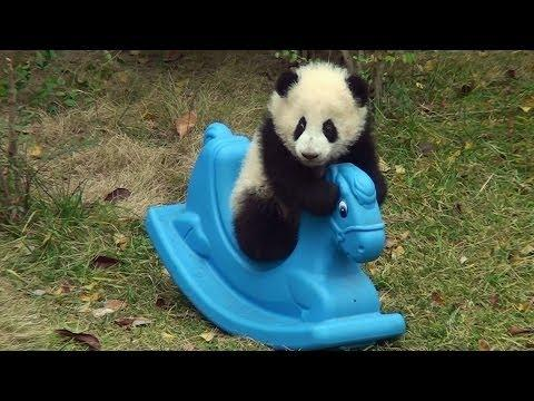 Panda Cub Playing On The Rocking Horse