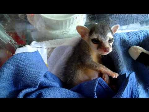 3 Weeks Old Ringtail Cat Wakes Up After A Nap