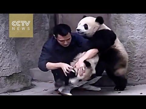 Pandas Don't Want To Take The Medication
