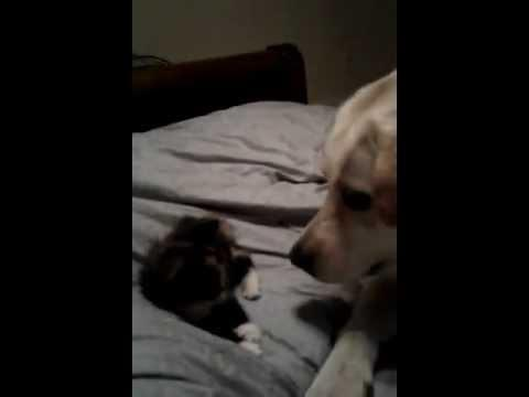 Cute - Kitten Vs Dog Play Fight