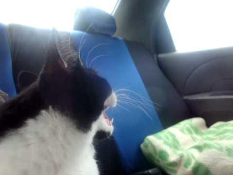 Jokes - Cat Enjoys The Car Ride