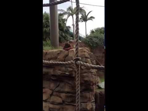 Orangutan Wants The Guy To Throw The Bacon Pretzel