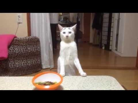Cat Walks Backwards Like A Human