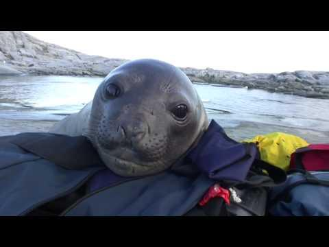 Cute - Curious Baby Seal Meets People