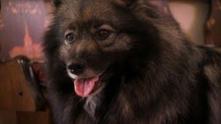 Cute Keeshond Puppies Go Out For The First Time