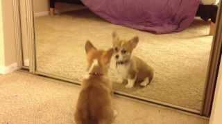 Corgi Puppy Discovers Mirror