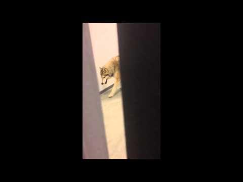 Jimmy Kimmel Pranks The Internet Again With Wolf In The Hallway In Sochi