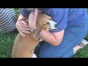 Beagle Dog Gets Very Emotional