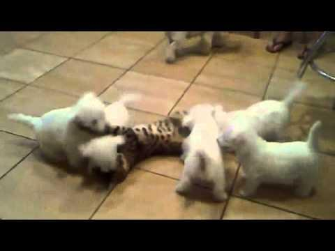 Cute - Puppies Play With A Cat
