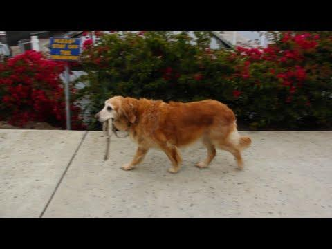 Cute - Dog Takes Itself For A Walk